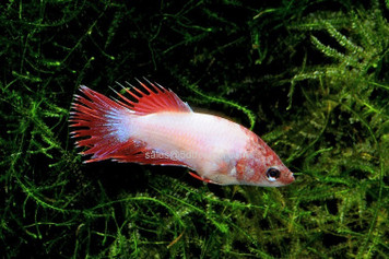 CROWNTAIL FEMALE BETTA W/CUP