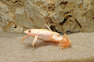 AFRICAN CLAWED FROG - ALBINO