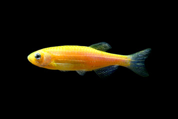 GLOFISH®-DANIO SUNBURST ORANGE®