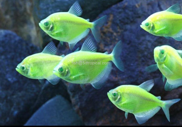 GLOFISH® TETRA - ELECTRIC GREEN®