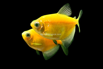 GLOFISH® TETRA - SUNBURST ORANGE®