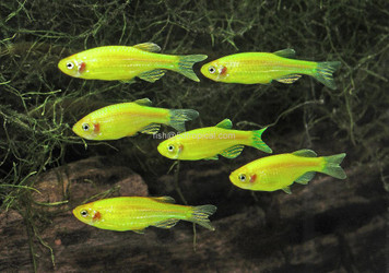 GLOFISH® DANIO - ELECTRIC GREEN®