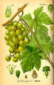 Grape Seed Oil 8 oz. Skin Health $12.95