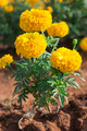 Tagetes Essential OIl 15ml