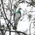 Wood Pigeon / Kereru glass wall art print for sale, featuring a beautiful NZ Wood Pigeon (Kereru).