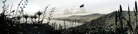 Flying Tui, Muriwai Beach, Auckland, NZ- landscape photo print with cabbage tree, flax and Tui.