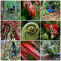 NZ Birds, photo print collage with NZ  Tui, Pukeko, Stitchbird and Kea with fern frond and Nikau.