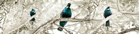 NZ Tui birds sit on branches singing - panoramic, nature, photo art print for sale by Lucy G.