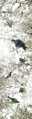 NZ Bellbird, Stitchbird, Tui, Wood Pigeon (Kereru)  - nature, photo art print for sale.