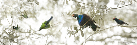 NZ Bellbird, Stitchbird, Tui, Wood Pigeon (Kereru)  - nature, photo art print for sale.