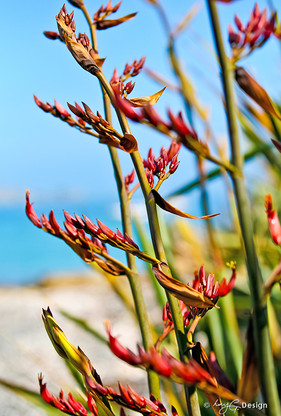 Photo of red New Zealand Flax in bloom - photo art / canvas print for sale.