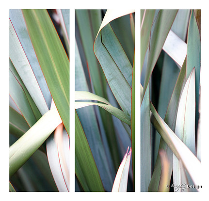 Photograph of green NZ flax leaves - fine art print / canvas photo for sale.