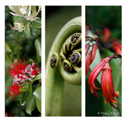 Set of 3 beautiful New Zealand nature photos, NZ Pohutukawa, fern koru and red Flax flower.