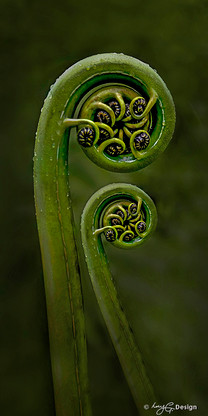 New Zealand fern frond / NZ Koru - close up photo art / canvas print for sale.