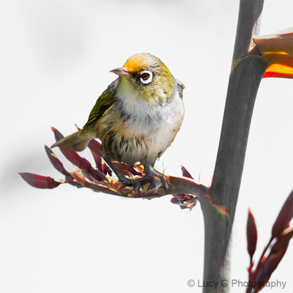Nz Silvereye On Flax Panoramic To 1 8m Nature Photo