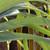 Staghorn detail