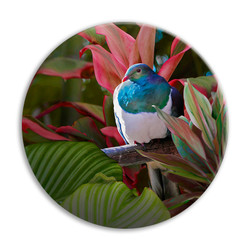 'Reflection'' NZ Wood Pigeon circular ceramic wall art tile 20cm diameter