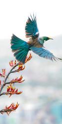 NZ Flying Tui