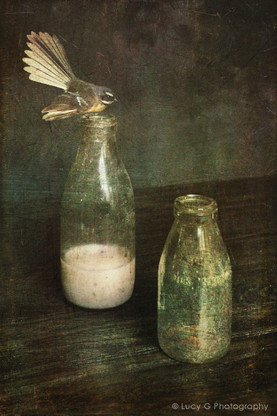 NZ Fantail bird sitting on vintage milk bottle, photo art print for sale.