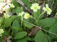 2 Organic Norfolk Wild Primroses,Primula Vulgaris