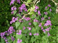 Organic Norfolk Common Honesty,Lunaria Annua,Cottage Garden Plant