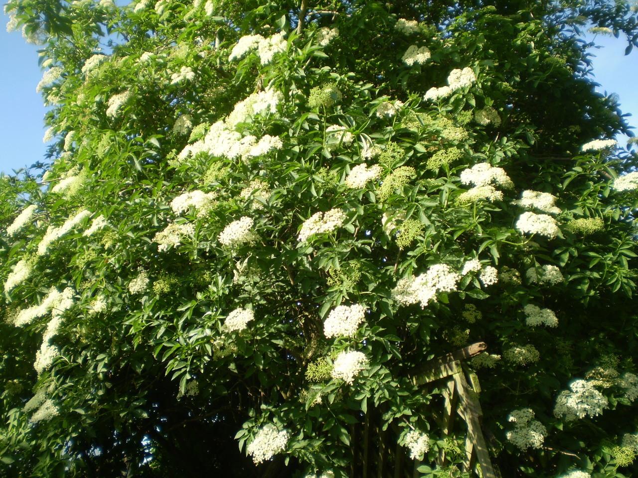 「elder flower」の画像検索結果