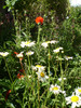 Poppies and Oxeye Daisies