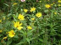 Rubeckia's in Flower in August