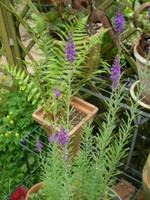 Organic Norfolk Linaria Purpurea,50 seeds,Perennial plant.