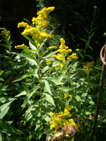 2 Organic Norfolk Yellow Solidago,Golden Rod Root Systems,Bee Loving Cottage Garden plant