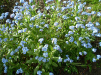 TWO ORGANIC NORFOLK FORGET ME NOTS,MYOSOTIS ROOT SYSTEMS