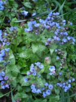 2 organic Norfolk Pulmonaria Longifolia cottage garden plant