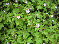 2 Organic Norfolk wild flower Herb Robert Root systems, Geranium robertianum.Buy online Herbal cancer relief cure