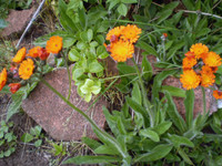 2 Orange Hawkweed Wildflower.Organically raised in Norfolk