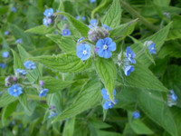 2 Organic Norfolk Blue Comfrey, Bee Loving Plant