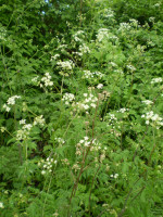 2 Organic Roots of Norfolk Cow Parsley,Tall Wild Flower