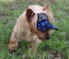 DH501V- Jessie (Australian Terrier) now happy to go for walks.  Jessie took Small size.