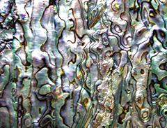 abalone.jpg
