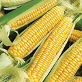 Bulk Bantam Cross Sweet Corn Seeds
