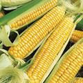 Bulk Bantam Cross Sweet Corn Seeds