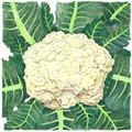 Snowball Cauliflower Seeds