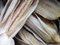 Hickory King Corn Seeds-1/2 Pound