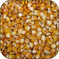 WHOLESALE HICKORY KING CORN SEEDS-1 POUND