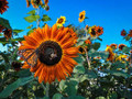 Wholesale Autumn Beauty Sunflower SEEDS