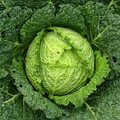 Savoy Cabbage SEEDS (Perfection)-Bulk
