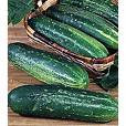 Straight 8 Cucumber Seeds