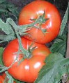 Durzba Tomato Seeds