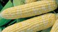 Bi-Licious F1 Corn Seeds
