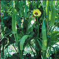 Wholesale Clemson Spineless Okra Seeds 85