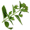 GreenTeaExtract.png